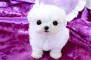 Maltese puppies available for re-homing