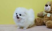 KEJS Stunning,  miniature White Pom  07031956739