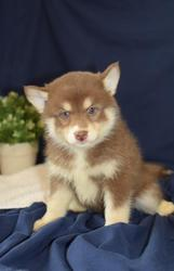 JFT checked friendly,  and sociable Pomsky For Sale 07031957695