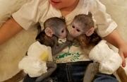 J3E Pairs Capuchin pygmy marmoset available 07031956739