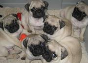 Cute Pugs puppies for Re-homing